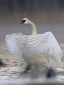 Trumpeter swan, Cygnus buccinator, flapping its wings, Magness Lake, Arkansas. by Tim Fitzharris