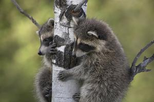 Two Baby Raccoons Find Protection in a Tree, Montana, Usa by Tim Fitzharris