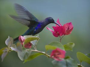 Violet Sabrewing Hummingbird Drinking from a Flower by Tim Fitzharris