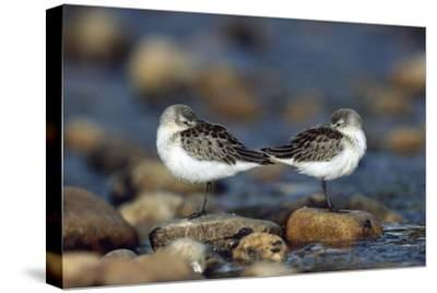 Western Sandpipers pair standing back to back with beaks tucked under wings, North America