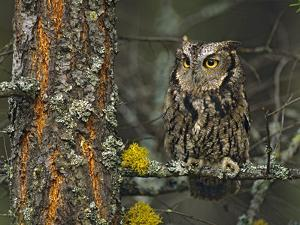 Western Screech-Owl Hanging Out in a Tree, British Columbia, Canada by Tim Fitzharris
