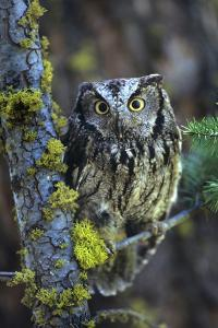 Western Screech Owl with a Shocked Look, British Columbia, Canada by Tim Fitzharris