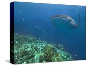 Whale Shark over Reef, Cebu, Philippines by Tim Fitzharris