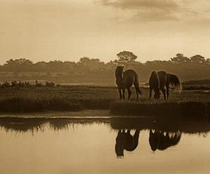 Wild Horse pair grazing at Assateague Island National Seashore, Maryland by Tim Fitzharris