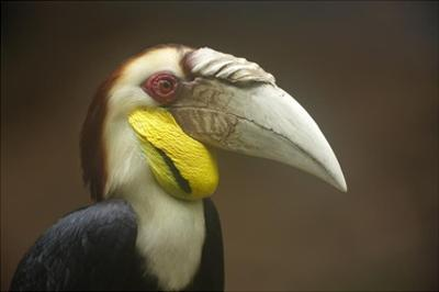Wreathed Hornbill male, Malaysia