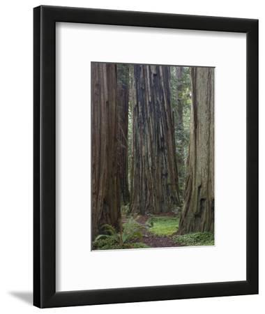 Trail Through Stout Memorial Grove, Jedediah Smith Redwoods State Park, California, USA