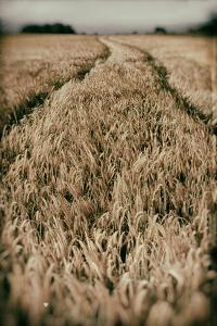 Fields of Wheat by Tim Kahane