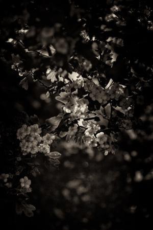 Spring Blossom by Tim Kahane