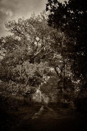 Suffolk Oak Trees by Tim Kahane