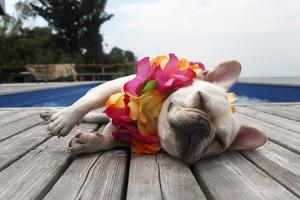 Dog Wearing Lei by Pool by Tim Kitchen