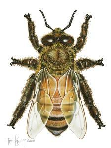 Drone Honey Bee by Tim Knepp