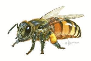 Honey Bee by Tim Knepp