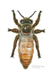 Queen Honey Bee by Tim Knepp