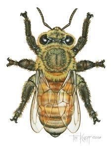 Worker Honey Bee by Tim Knepp