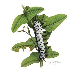 Zebra Caterpillar by Tim Knepp