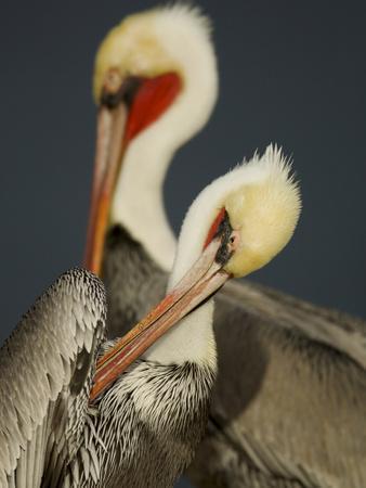 A Brown Pelican, Pelecanus Occidentalis, Preening