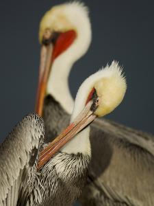 A Brown Pelican, Pelecanus Occidentalis, Preening by Tim Laman