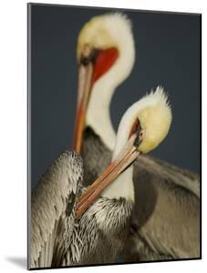 A Brown Pelican, Pelecanus Occidentalis, Preening by Tim Laman