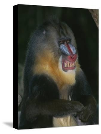 A Captive Adult Male Mandrill, Mandrillus Sphinx, from Africa