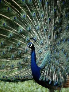 A Captive Male Peacock Displaying His Feathers by Tim Laman