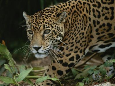 A Close View of a Captive Jaguar, Panthera Onca