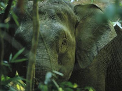 A Close View of an Asian Elephant Peering Through Jungle Brush by Tim Laman