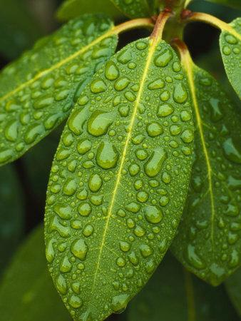 A Close View of Raindrops on Rhododendron Leaves