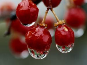 A Close View of Water Droplets on Wild Red Berries by Tim Laman