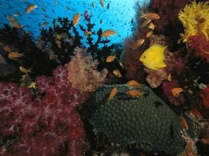 A Colorful Reef Scene with Soft and Hard Corals, and Schools of Fish by Tim Laman