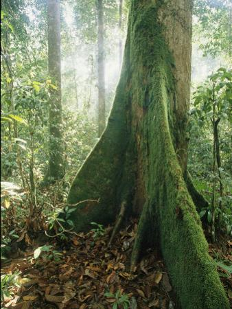 A Dipterocarp Tree in the Pristine Rain Forest of Borneo by Tim Laman