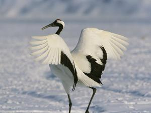 A Japanese or Red Crowned Crane Spreads its Wings in a Dance Display by Tim Laman