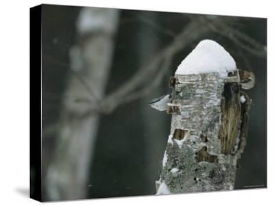 A Nuthatch on a Snow-Covered Tree Trunk