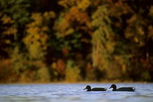 A pair of mallards at Walden Pond in the fall. by Tim Laman