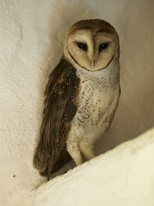 A Portrait of a Barn Owl, Tyto Alba, Roosting in a Building by Tim Laman