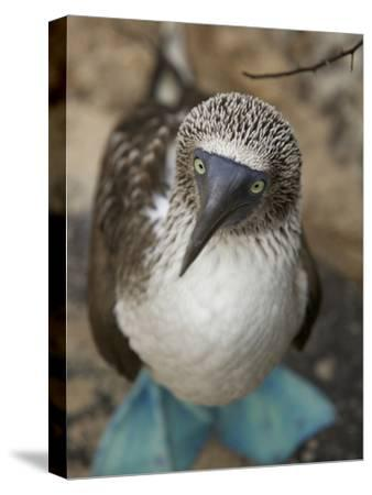 A Portrait of a Blue-Footed Booby, Sula Nebouxii