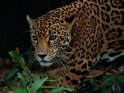 A Portrait of a Leopard (Panthera Pardus)