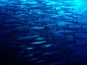 A School of Blackfin Barracuda by Tim Laman