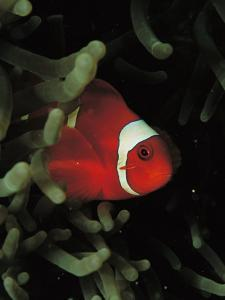 A Spinecheek Anemonefish Swims Through the Fingers of a Sea Anemone by Tim Laman