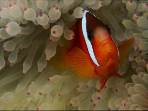 A Tomato Clownfish Amid the Stinging Tentacles of a Sea Anemone by Tim Laman