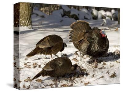 Adult Male Wild Turkey Displays to Females, Lexington, Massachusetts