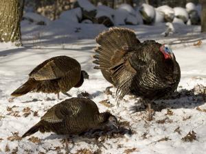 Adult Male Wild Turkey Displays to Females, Lexington, Massachusetts by Tim Laman
