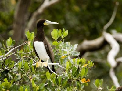 Brown Booby at a Mangrove Island Rookery, Belize