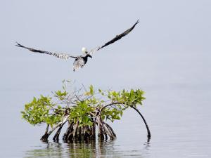 Brown Pelican Flies over a Red Mangrove, Belize by Tim Laman