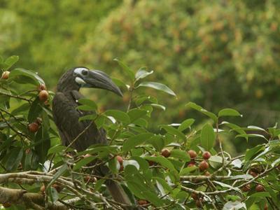 Bushy-Crested Hornbill, Anorrhinus Galeritus, in Strangler Fig Tree