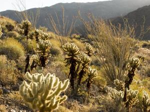 Cholla Cactus and Ocotillo Plants in the Desert Landscape, California by Tim Laman