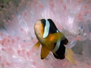 Clark's or Yellow-Tailed Anemonefish, Amphiprion Clarkii by Tim Laman