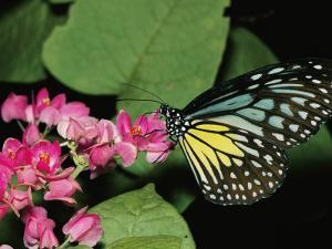 Close View of a Blue and Yellow Glassy Tiger Butterfly on a Pink Flower by Tim Laman