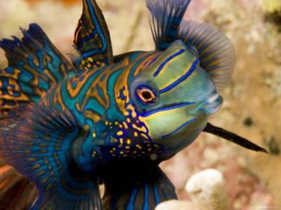 Close View of a Male Mandarinfish, Malapascua Island, Philippines by Tim Laman