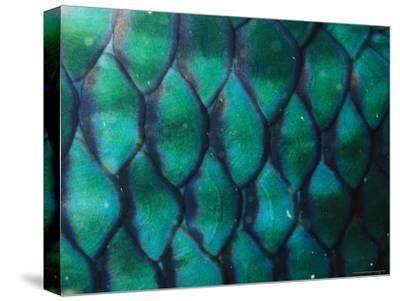 Close View of a Parrotfish's Iridescent Scales