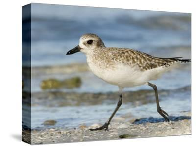Closeup of a Black-Bellied Plover, Sanibel Island, Florida
